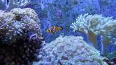 Szirénénekkel élesztenék újra a Nagy-korallzátony elhalt részeit
