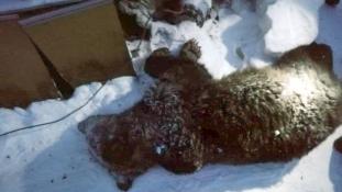 Csak a karját és a lábát hagyta meg: medve tört be egy szibériai férfi házába