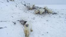 56 éhes jegesmedve kerítette körbe a csukotkai falut