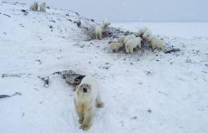 56 hungry polar bear besiege village in Chukotka