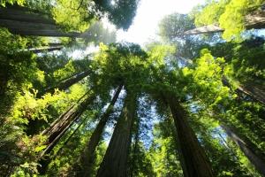 sequoia-274158_1920