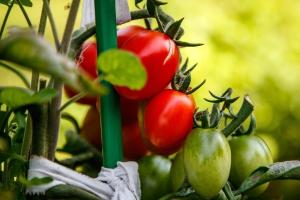 tomatoes-4646328_1920