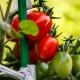 Sikít a paradicsom: a növények vészjelzést adnak, ha bántják őket