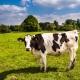 Beszélő tehenek: időjárásról és élelemről is csevegnek