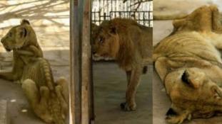 Miniszterelnök úr, segítsen az éhező oroszlánokon! – kérik a szudániak a neten