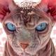 Ez a végtelenül csúnya macska az internet új sztárja
