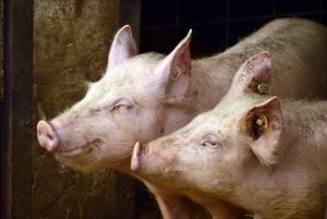 pigs-3967549_1920