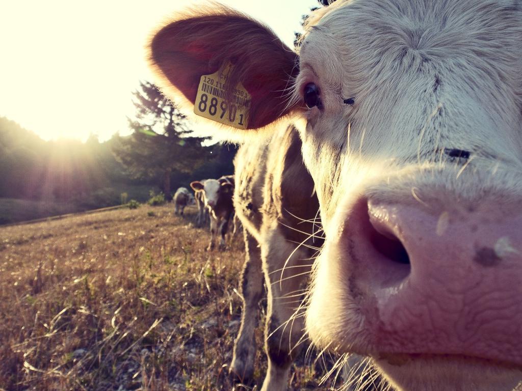 cow-932817_1920