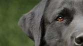 Szimat vagy teszt? A kutyák 94 százalékos hatékonysággal jelezték a koronavírust