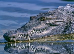 alligator-1851313_1920